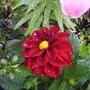 frist_bloom of the dahlia.jpg
