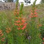 Red flowers frame (Siphocampylus Verticillatus)