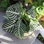 re purchase an old friend. (Aphelandra squarrosa (Zebra plant))
