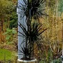 Dragon tree... dracaena. (Dracaena draco (Dragon Tree))