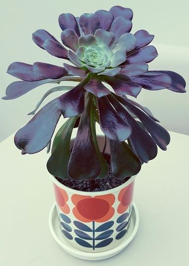 Aeonium Velour  in new pot.... (Aeonium Velour...)