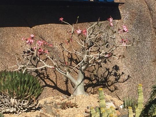 Adenium obesum - Desert Rose Flowering (Adenium obesum - Desert Rose Flowering)