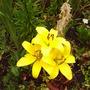 yellow_lillys.jpg