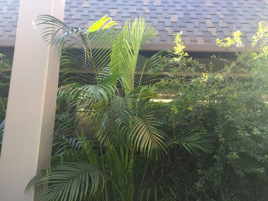 Dypsis lutescens - Butterfly Palm (Dypsis lutescens - Butterfly Palm)