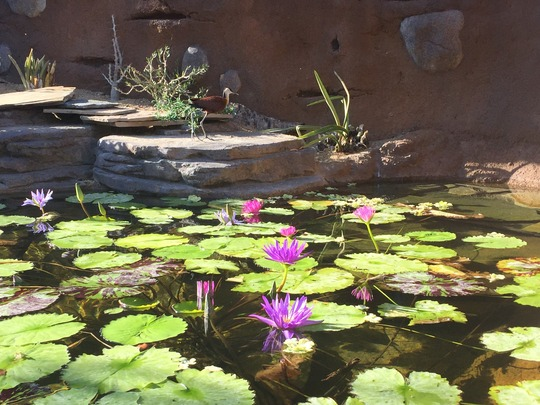 Water Lilies Flowering  (Water Lilies)