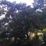 Dombeya cacuminum - Strawberry Snowball Tree (Dombeya cacuminum - Strawberry Snowball Tree)