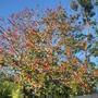 Erythrina lysistemon?  - Coral Tree (Erythrina lysistemon)