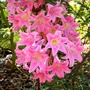 Amaryllis belladonna ( Easter likly ) (Amaryllis belladonna (Belladonna lily))