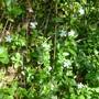 Vinca minor alba (Vinca minor (Lesser periwinkle))