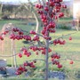 Crab Apple - Malus - 'Red Sentinel' Fruits Still Hanging On (Malus (Crab Apple) 'Red Sentinel')