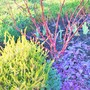 Cornus alba with Golden Heather and Purple Ajuga