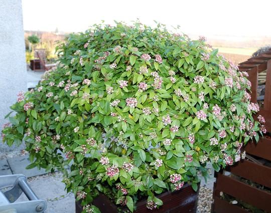 Viburnum tinus is starting to flower now (Viburnum tinus (Laurustinus))