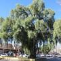 Pepper tree. (Schinus molle (American Mastic Tree))