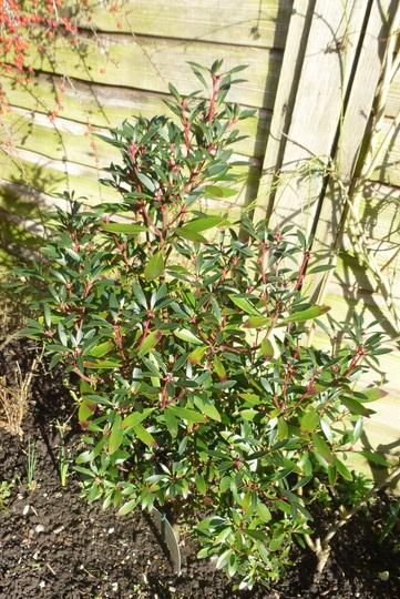 For Karen  -  Drimys lanceolata 'Red Spice' (Drimys lanceolata)