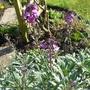 Erysimum  'Bowles's Mauve' (Erysimum bicolor (Bowles' perennial wallflower))