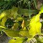 The first flower (Epiphyllum oxypetalum)