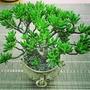 Crassula ovata (Jade tree) gollum
