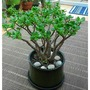 Crassula ovata...Jade tree...money plant. (Crassula ovata (Jade tree))