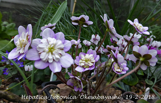 Hepaticas just starting to flower this one for Wells