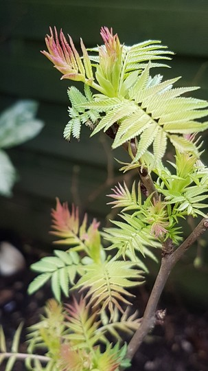 Sobaria sorbifolia Sem.......  (Sorbaria Sem....)