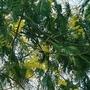 Acacia in flower! (Acacia)