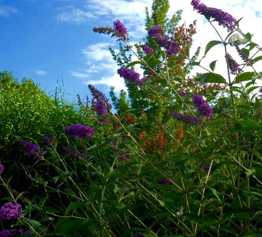 One of my favorites--Buddleia