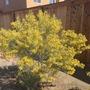 Cassia artemisioides - Feathery Cassia (Cassia artemisioides - Feathery Cassia)