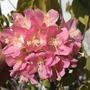Dombeya wallichii - Tropical Hydrangea or Pink Ball Tree (Dombeya wallichii - Tropical Hydrangea)