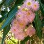 Corymbia ficifolia (Corymbia ficifolia)