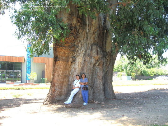 Big Eucalyptus. (Eucalyptus globulus (Blue Gum))