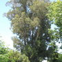 150-160' tree (Eucalyptus globulus (Blue Gum))