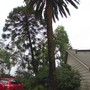 Leaning Bunya Bunya tree... (Araucaria bidwillii (Bunya-Bunya))