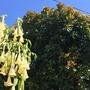 Ficus cyathistipula - Congo Fig Reddish New Growth (Ficus cyathistipula  (Congo Fig))