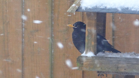 Blackbird having shelter for a moment.