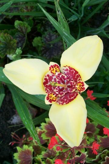 ooooohhhh look i have a yellow one! (tigridia canariensis)