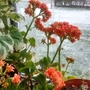 Kalanchoe flowering on bedroom windowsill with snow outside 28th February 2018