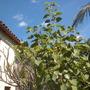Ficus religiosa - Bo or Sacred Fig (Ficus religiosa - Bo or Sacred Fig)