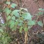 Physalis peruviana - Goldenberry  (Physalis peruviana - Goldenberry)