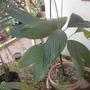 Chamaedorea ernesti-augusti - Tuna Tail Palm (Chamaedorea ernesti-augusti - Tuna Tail Palm)