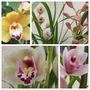 Cymbidium Orchids (Cymbidium)