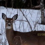 Single little Whitetail Deer
