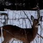 Dark coat on Deer