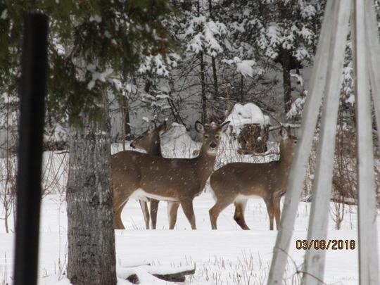 Four deer today!