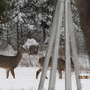 whitetails in the garden