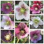 Single Hellebores (Helleborus)