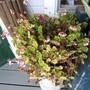Eyelash Begonia (Begonia bowerae)