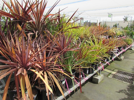 Cordylines.. (Cordyline australis (New Zealand cabbage palm))