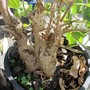 Rock fig.. (Ficus palmeri)