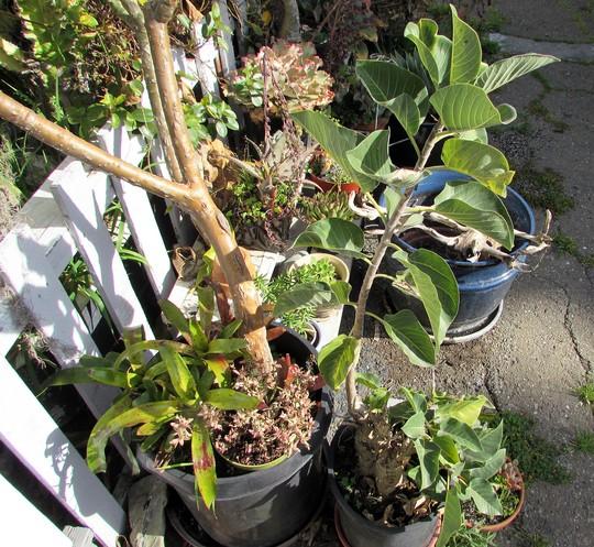 More Rock Fig. (Ficus palmeri)