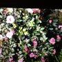 Mums Camellia